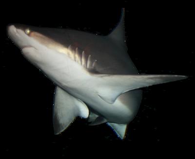 IMG 0736 Shark.png